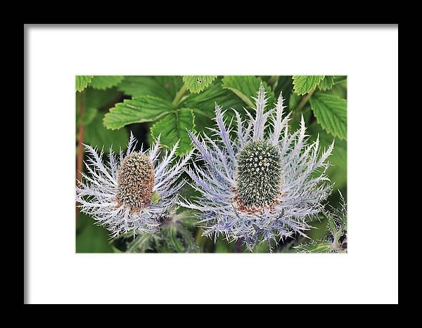 Alpine See Holly Framed Print featuring the photograph Eryngium Alpinum Flowers by Colin Varndell