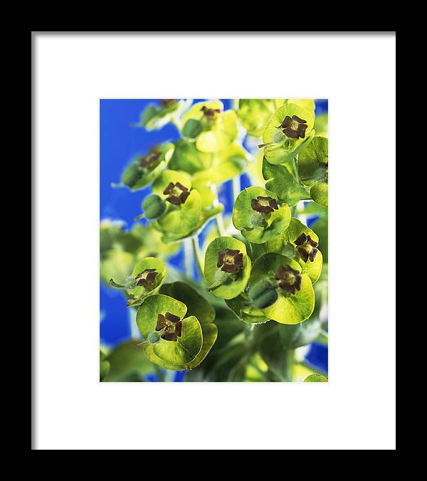 Euphorbia Sp. Framed Print featuring the photograph Euphorbia Sp. by Sheila Terry