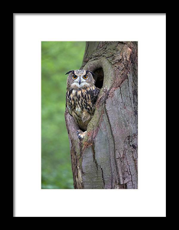 Nis Framed Print featuring the photograph Eurasian Eagle-owl Bubo Bubo Looking by Rob Reijnen
