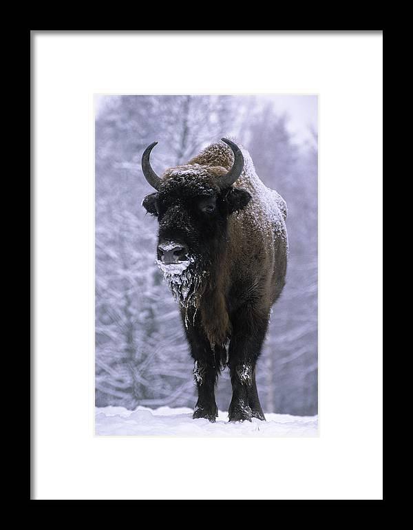 Fn Framed Print featuring the photograph European Bison Bison Bonasus In Snow by Rinie Van Meurs