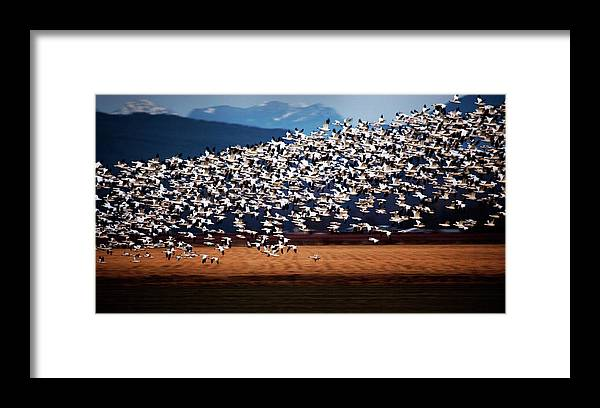 Snow Geese Framed Print featuring the photograph Evening Flight by Karen Ulvestad