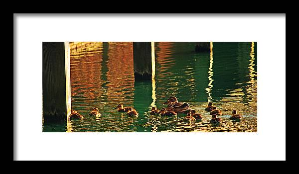 Ducks Framed Print featuring the photograph Evening Swim by Michael Cole