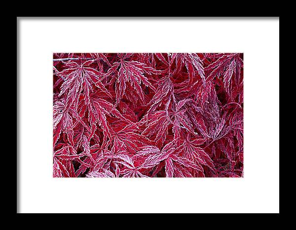 Maple Framed Print featuring the photograph F R O S T E D . M A P L E by Thomas Herzog