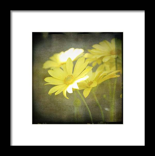 Yellow Daisy's Framed Print featuring the photograph Faded Yellow by Cathie Tyler