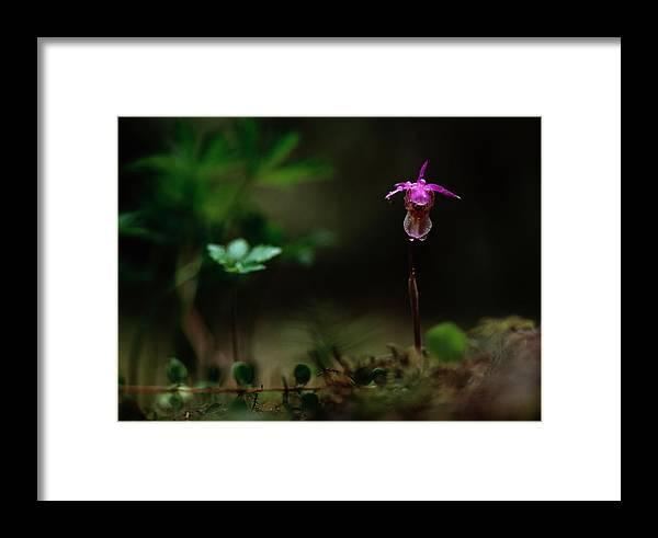 Europe Framed Print featuring the photograph Fairy Slipper Orchid Calypso Bulbosa by Mattias Klum