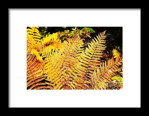 Cinnamon Fern Framed Print featuring the photograph Fall Color Cinnamon Fern by Thomas R Fletcher