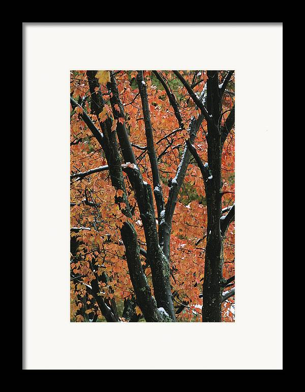 Outdoors Framed Print featuring the photograph Fall Foliage Of Maple Trees After An by Tim Laman