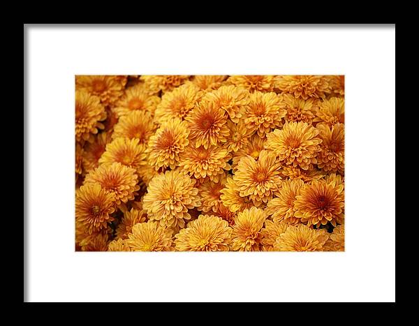 Mum Framed Print featuring the photograph Fall Mums by Paulette Thomas