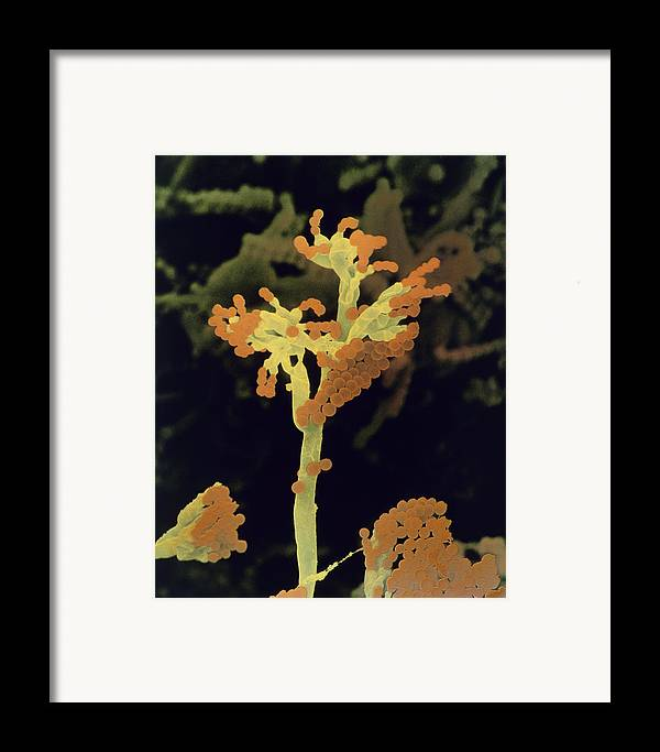 Sem Framed Print featuring the photograph False Colour Sem Of Fruiting Bodies by Dr Jeremy Burgess .