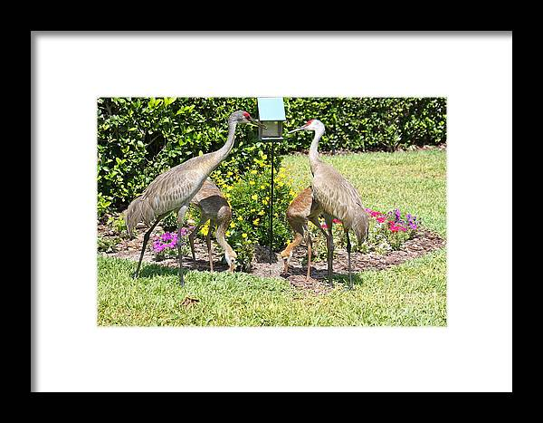 Sandhill Cranes Framed Print featuring the photograph Family Meal Time by Carol Groenen