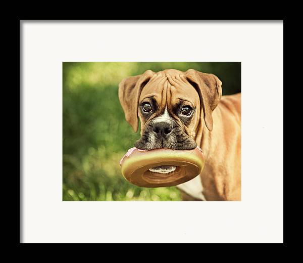 Horizontal Framed Print featuring the photograph Fawn Boxer Puppy by Jody Trappe Photography