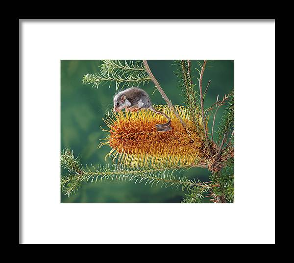 Ai Framed Print featuring the photograph Feather-tail Glider Acrobates Pygmaeus by Jean-Paul Ferrero