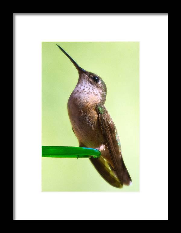 Bird Framed Print featuring the photograph Female Calliope Hummingbird by Merle Ann Loman