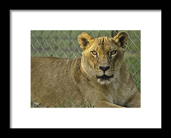 Animals Framed Print featuring the photograph Female Lion by Melany Sarafis