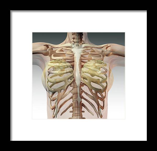 Female Ribcage Framed Print By Friedrich Saurer