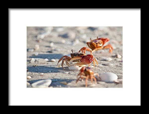 Fiddler Crabs Framed Print featuring the photograph Fiddler Crab Conga Line by Christine Stonebridge