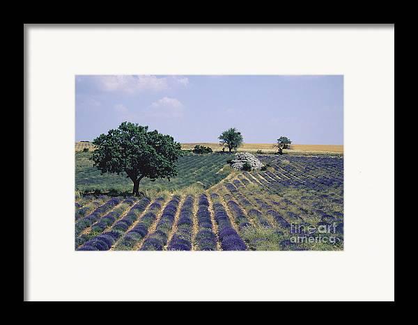 The Tourist Trade Framed Print featuring the photograph Field Of Lavender. Sault. Vaucluse by Bernard Jaubert