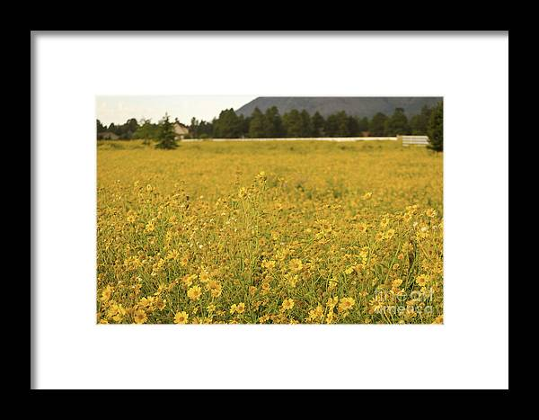 Fine Art Framed Print featuring the photograph Field Of Yellow Daisy's by Donna Greene