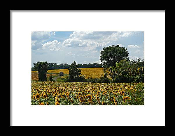 Fields Framed Print featuring the photograph Fields Of Sunflowers by Veron Miller