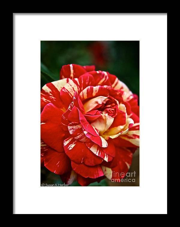 Garden Framed Print featuring the photograph Fiesta Rose by Susan Herber