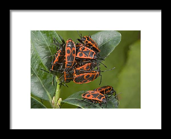 Firebug Framed Print featuring the photograph Firebugs Mating by Bob Gibbons