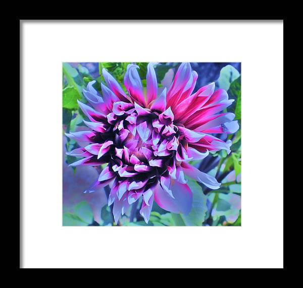 Dahlia Framed Print featuring the photograph Fireworks by D J Larsen