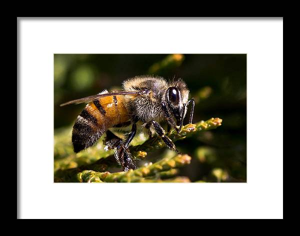 Nature Framed Print featuring the photograph First Bee For The Summer by Ronel Broderick