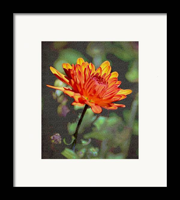 Mum Framed Print featuring the photograph First Mum For Fall by Sandi OReilly