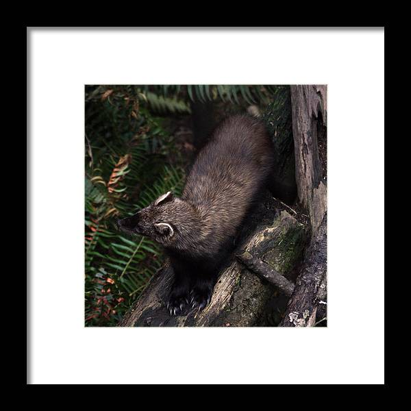 Northwest Trek Framed Print featuring the photograph Fisher - 0005 by S and S Photo
