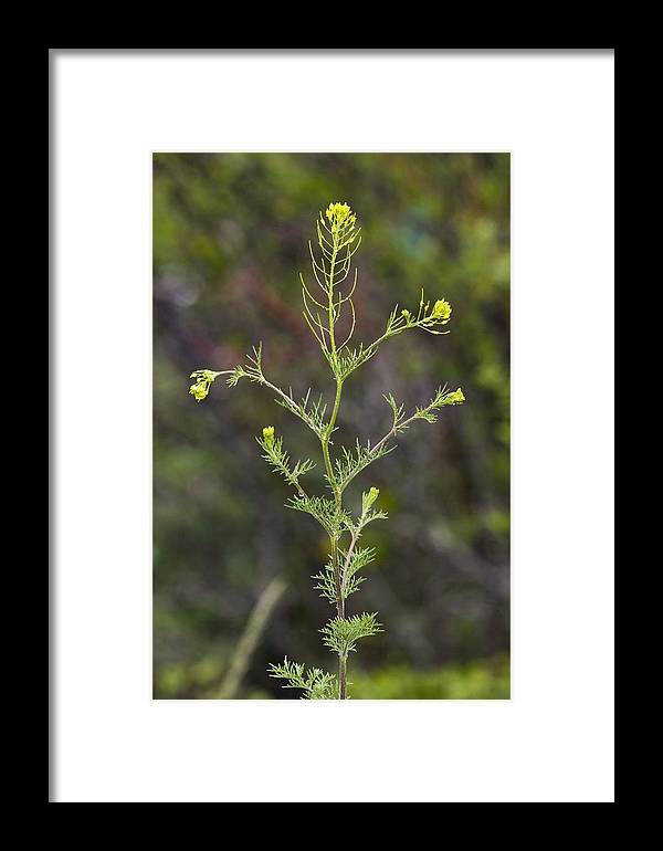 Fixweed Framed Print featuring the photograph Fixweed (descurainia Sophia) by Bob Gibbons