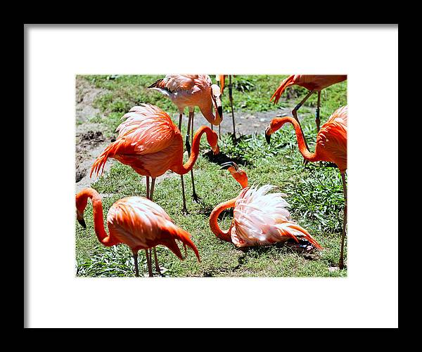 Flamingo Framed Print featuring the photograph Flamingo Face-off by Elizabeth Hart