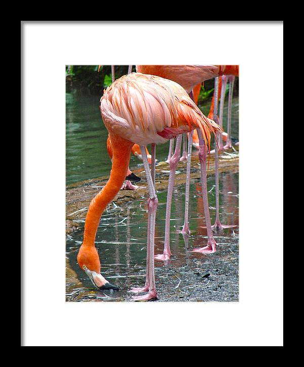 Flamingo Photo Fine Art Framed Print featuring the photograph Flamingo Toe Touch by Roy Foos