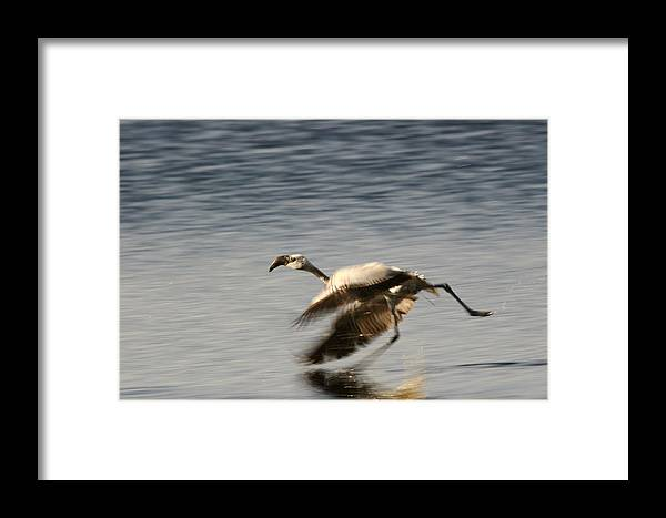Reflection Framed Print featuring the photograph Flamingo by Zombory Andras