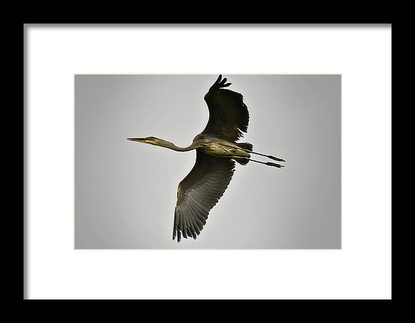 Great Blue Heron Framed Print featuring the photograph Flight Of The Great Blue Heron by Saija Lehtonen