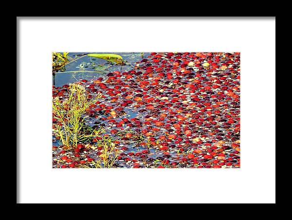 Cranberries Framed Print featuring the photograph Floating Cranberries by Janice Drew