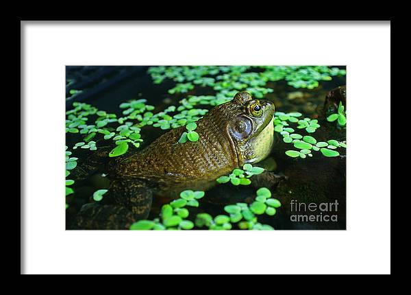 Frog Framed Print featuring the photograph Floating Frog by Dawn Harris