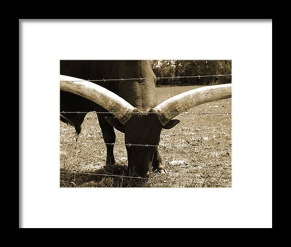 Bulls Framed Print featuring the photograph Florida Longhorn by Pamela Stanford
