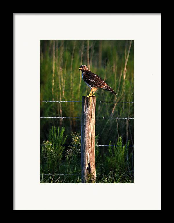 Hawk Framed Print featuring the photograph Florida Red-shouldered Hawk by Ronald T Williams