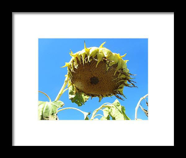 Sunflower Framed Print featuring the photograph Flower 38 by Todd Sherlock