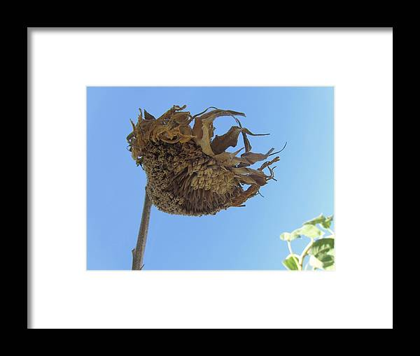 Sunflower Framed Print featuring the photograph Flower 39 by Todd Sherlock