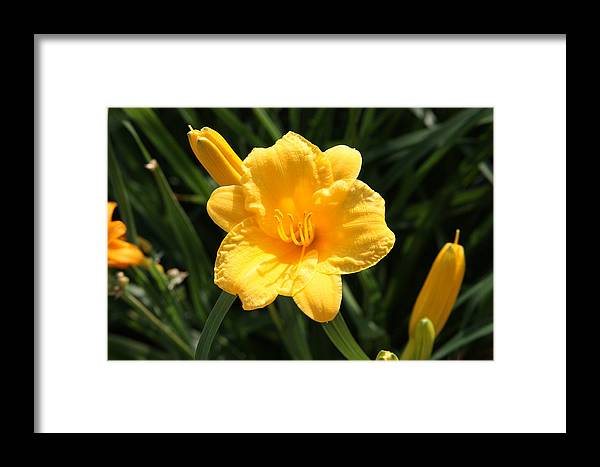 Yellow Flower Framed Print featuring the photograph Flower In Bloom by Kimber Butler