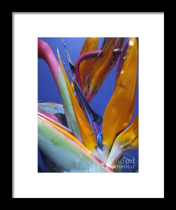 Bird Of Paradise Flowers Macro Photographs Framed Print featuring the photograph Flowers From Paradise by Miss McLean