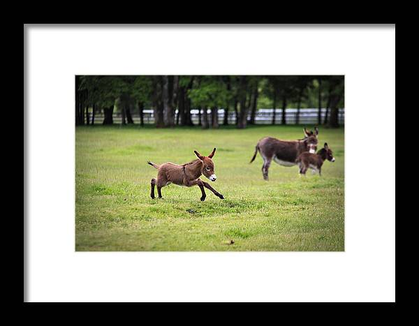 Miniature Donkey Framed Print featuring the photograph Flying Abbey by Tiana McVay