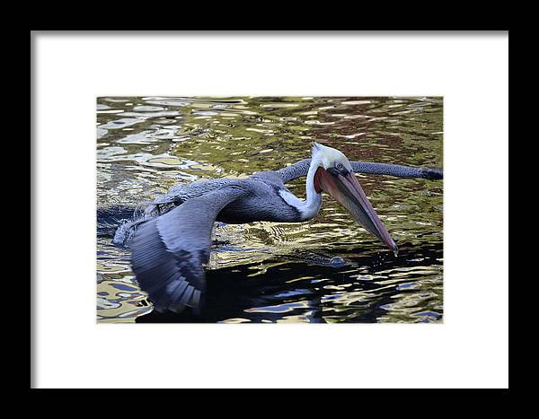 California Brown Pelican Framed Print featuring the photograph Flying Over Liquid Gold by Fraida Gutovich