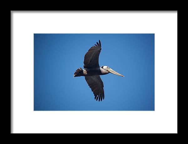 Pelican Framed Print featuring the photograph flying Pelican by Ralf Kaiser
