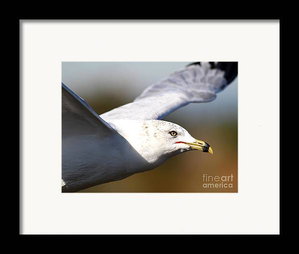 Bird Framed Print featuring the photograph Flying Seagull Closeup by Wingsdomain Art and Photography