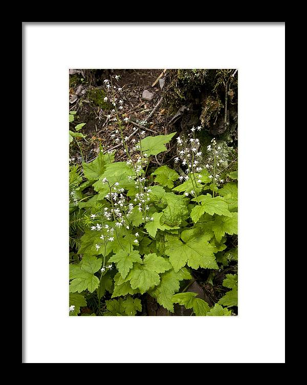 Foamflower Framed Print featuring the photograph Foamflower (tiarella Trifoliata) by Bob Gibbons