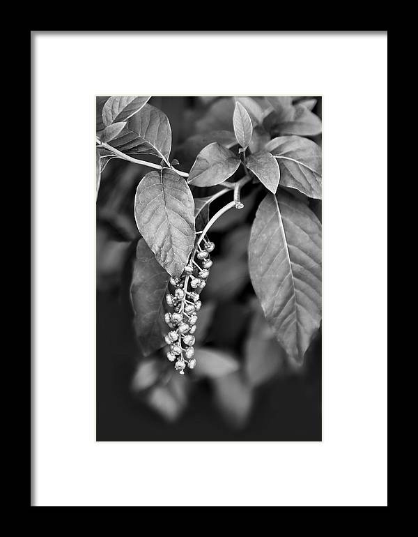 Nature Framed Print featuring the pyrography Foliage And Buds Bw by Linda Phelps