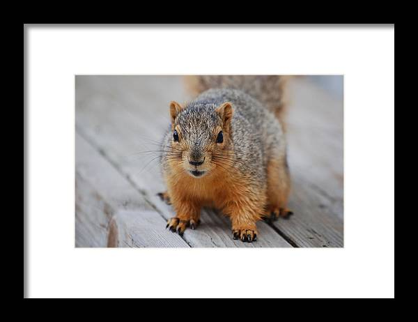 Squirrel Framed Print featuring the photograph Fox Squirrel by Randy J Heath