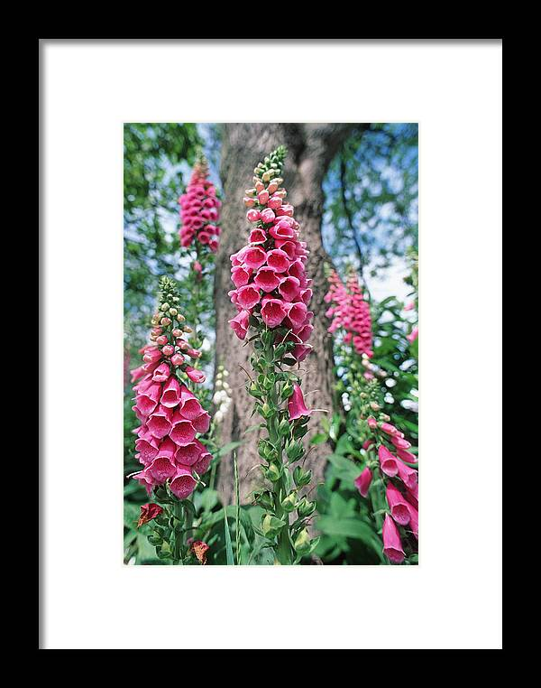 Foxglove Framed Print featuring the photograph Foxglove Flowers by Georgette Douwma